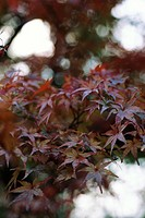 Leaves of Japanese Maple