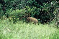 Sri Lankan Elephant grazing in forest meadow