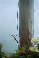 Mindanao Gum Tree Eucalyptus deglupta, in mist