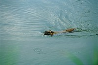 Coypu Myocastor coypus partially submerged, swimming quickly across pond