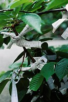 Omikuji or fortune papers tied to branches