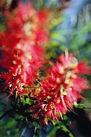 Bottlebrush Callistemon flowers