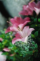 Azalea blossoms