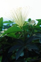 Caper flower Capparis spinosa