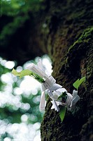 Omikuji papers tied to tree