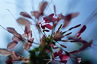 Cleome flower, low angle, abstract view