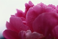 Peony flower petals, close-up