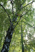 Forest canopy, low angle view