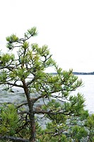 Pine tree, high angle view, cropped
