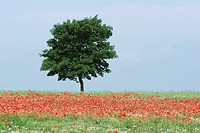 Tree in field of poppies