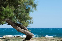 Twisted white pine tree growing on sea shore