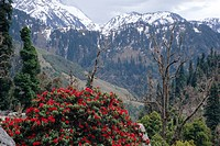 Rhododendrons in bloom, Dhaula Dhar Dhaola Dhar Range of the Western Himalayas, Himachal Pradesh, India