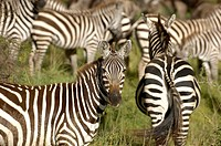 A herd of Zebras on Serengeti, Africa