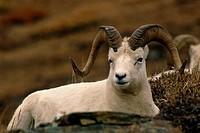 Dall Sheep Ram Denali NP Alaska