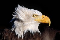 Portrait of Mature Bald Eagle captive Alaska Wild Conservation Center Summer SC Alaska