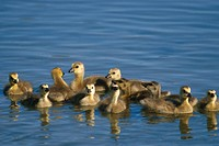 Group of Canadian Goslings in Lake Summer Alaska