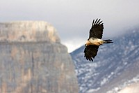 Bearded vulture, Gypaetus barbatus, in flight at Ordesa national park, Spanish pyrenees