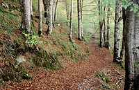 Footpath inside beech forest, Selva de Irati, Navarra, Pyrenees, Spain