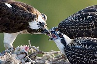 Osprey Pandion haliaetus feeding its young ones