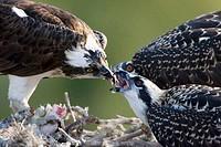 Osprey Pandion haliaetus feeding its young ones