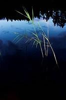 Vasstrå I Insjö, Vaasa Straw In Lake