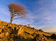 Bare tree on stony outcrop, Parwich, Hartington, Peak District National Park, Derbyshire, England, UK, Europe
