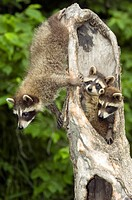 Family of young raccoons in hollow tree looking out holes Minnesota USA Summer