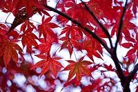 Japanese maple tree, Suzan, Shizuoka Prefecture, Japan