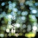 Grönvit Nattviol Inne I Dunklet I En Liten Träddunge, Öland, Close_Up Of Plant