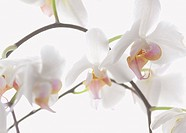 Peduncle with white orchid
