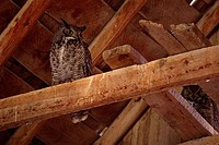 Low angle view of two Great Horned owls Bubo virginianus perching on planks