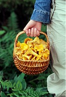 Svamplockare Med En Korg Full Av Kantareller, Human Hand Carrying Mushrooms In Basket, Close_Up