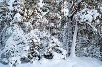 Vinterskog, Nackareservatet, Trees In Winter
