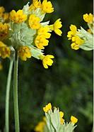 Gullvivor På Gräsmatta, Flower, Close_Up