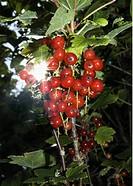 Röda Vinbär, Detalj, Berries Hanging On Branch, Low Angle View