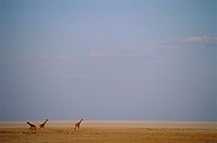 Three giraffes, Namibia