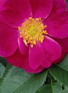 Röd Ros, Flower, Close_Up