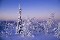 Snötäckta träd i vitt vinterlandskap Snowcapped Trees In White Winter Landscape, Sweden
