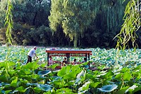 A boat punting through lily pads at Zizhuyuan Black Bamboo Park, Beijing, China, Asia