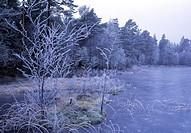 Isbelagd sjö och snötäckt skog, vinter Trees in winter near lake