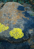 Gul lav, yellow lichen on rock