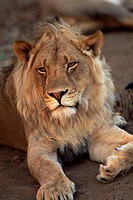 Close_up of a lion Panthera leo, Mashatu Game Reserve, Botswana, Africa