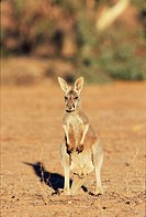 Red kangaroo, Macropus rufus, Mootwingee National Park, New South Wales, Australia, Pacific
