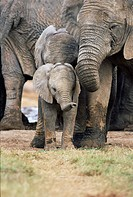 African elephant, Loxodonta africana, Greater Addo National Park, South Africa, Africa