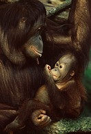 Orang utan mother and baby, Pongo pygamaeus, in captivity, Singapore Zoo, Singapore, Southeast Asia, Asia