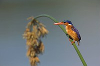 Malachite kingfisher Alcedo cristata on reed in Kruger National Park, Mpumalanga, South Africa, Africa