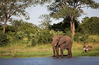 Elephant Loxodonta africana, with waterbuck Kobus ellipsiprymnus, at water in Kruger National Park, Mpumalanga, South Africa, Africa