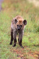 Young spotted hyena Crocuta crocuta, Kruger National Park, Mpumalanga, South Africa, Africa