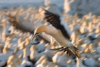 Cape Gannet, Morus capensis, Bird Island, Lambert´ s Bay, South Africa