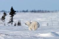 Polar Bear Cub, Ursus maritimus, Churchill, Manitoba, Canada